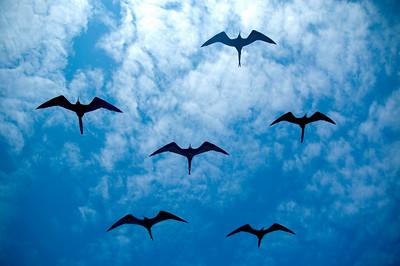 Galapagos_Frigates-8