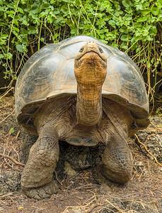 Galapagos_Tortoise-5