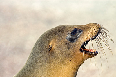 Galapagos_Sea Lions-8