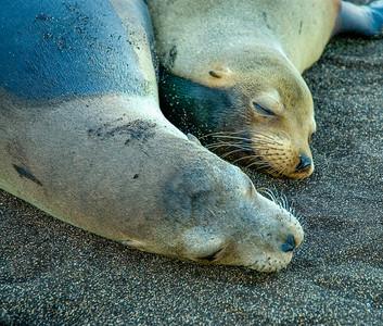 Galapagos_Sea Lions-12