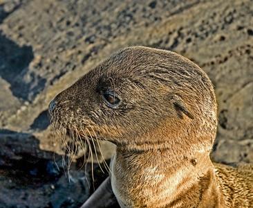 Galapagos_Sea Lions-11