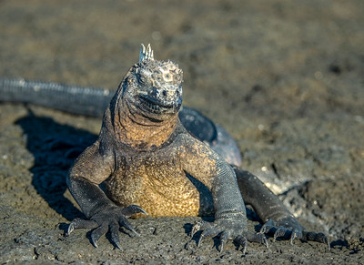 Galapagos_Lizards-5