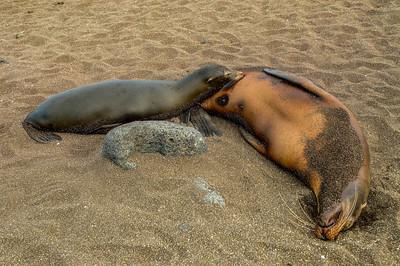Galapagos_Sea Lions-14