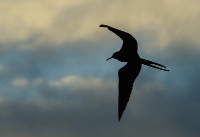 Frigate Bird Silhouette