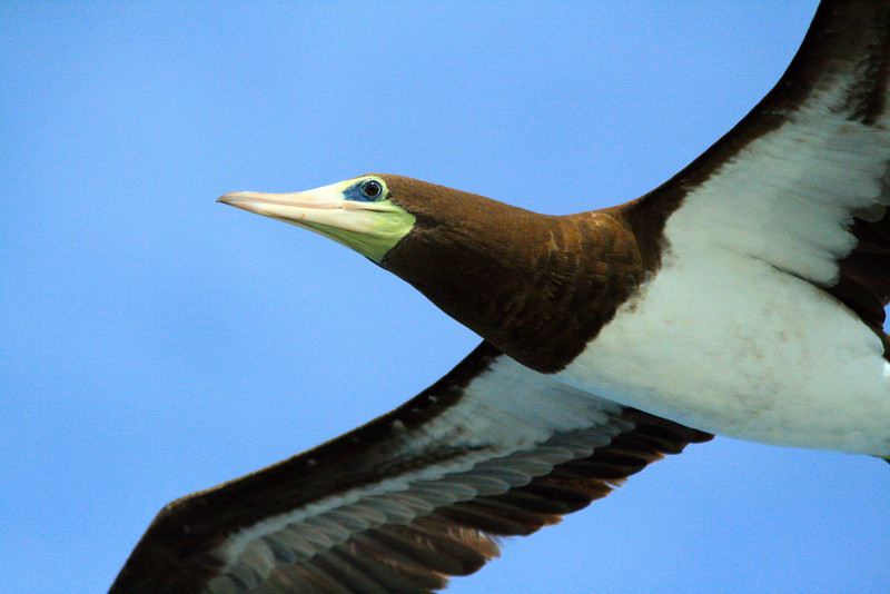Masked Booby - Eastern Tropical Pacific, Panama