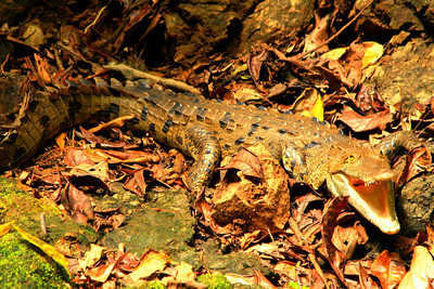 Crocodile by the River - Corcovado National Park, Costa Rica