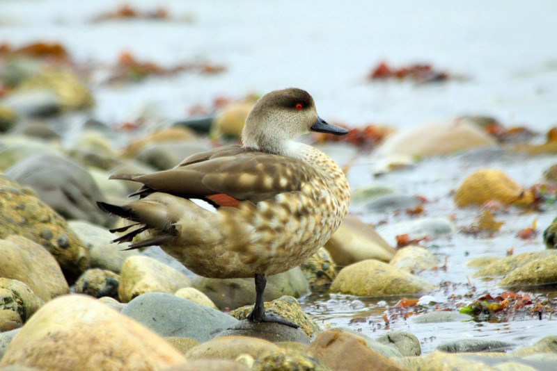 Antarctic Duck -  Chile