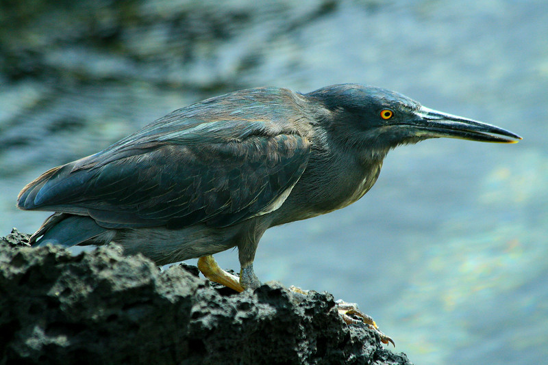 Striated Heron Fishing - Santa Cruz, Galapagos