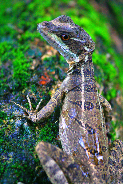 Lizard in the Morning - Corcovado National Park, Costa Rica