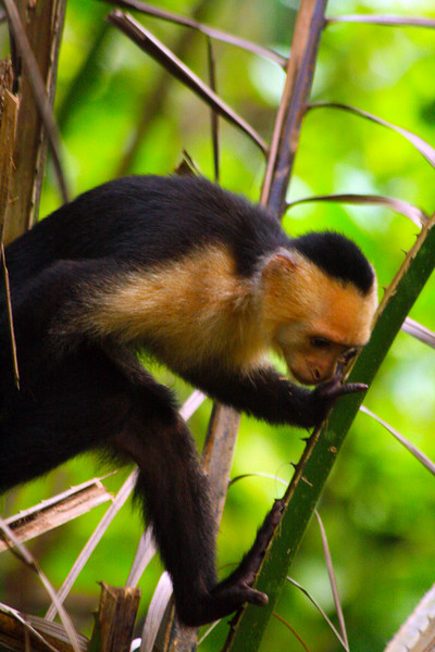 White-faced Capuchin Monkey - Corcovado National Park