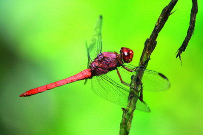 Red Dragonfly - Limon, Costa Rica