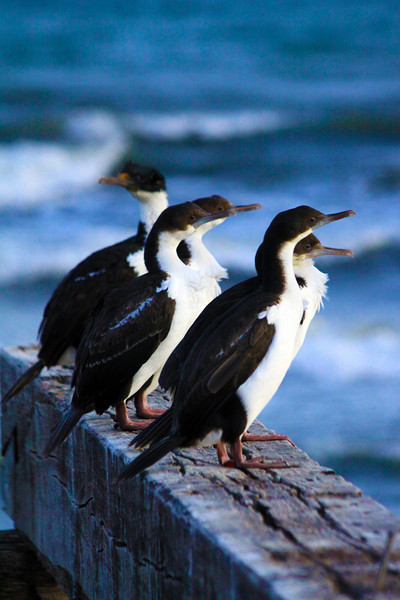 Gaggle of Imperial Shags -  Chile