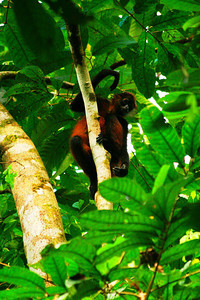 Monkey and Me - Corcovado National Park