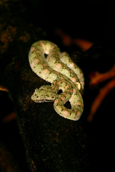 Eyelash Viper - Limon, Costa Rica