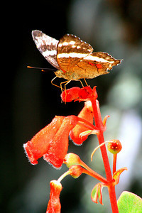 Butterfly in the Garden - Limon, Costa Rica