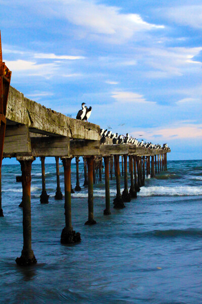 A quick hike to the Ghost Docks of Punta Arenas, shows that they have become home to hundreds of Imperial Shags - Chile