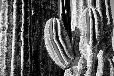 Cardon Cactus B&W- Punta San Francisquito, Baja, Mexico