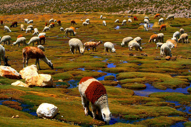 Lamas and Alpacas - Peru