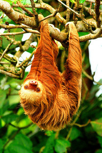 Two-toed sloth in the rain forest outside of the town of Puerto Viejo, Costa Rica