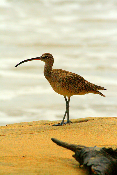 Whimbrel - Manzanillo, Costa Rica