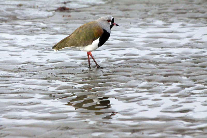 Lapwing off of the shore in Punta Arenas - Chile