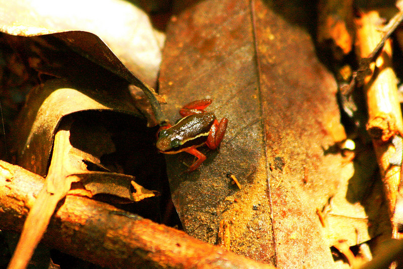 The (very loud) Rocket Frog - Corcovado National Park