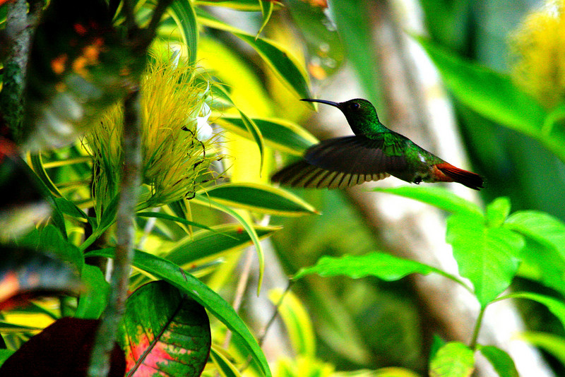 Hummingbird Passing - Arenal, Costa Rica