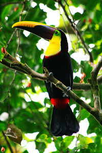 Black Mandibled Toucan Profile - Corcovado National Park, Costa Rica