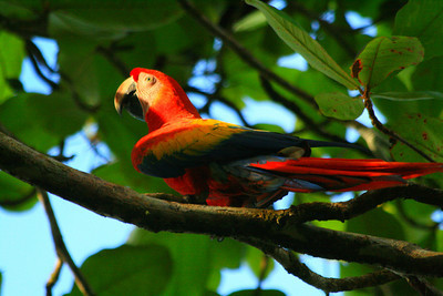Scarlet Macaw - Corcovado National Park, Costa Rica