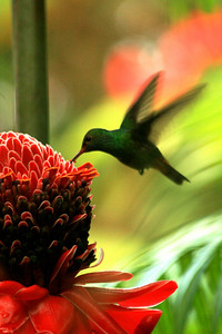 Hummingbird feeding in Corcovado National Park - Costa Rica