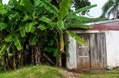 Banana Trees- Costa Rica