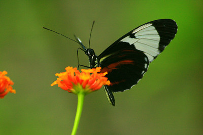 Butterfly and the Flower - Limon, Costa Rica