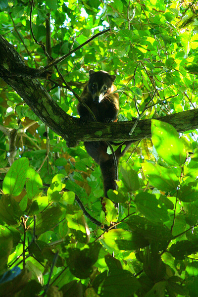 Coati in a Tree - Panama City, Panama
