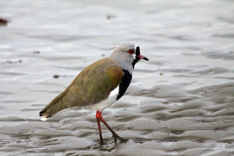 Lapwing on shore - Chile