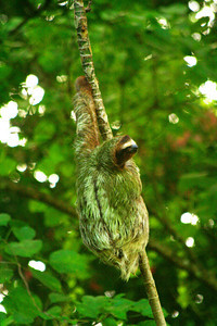 Three-toed sloth - Manzanillo, Costa Rica