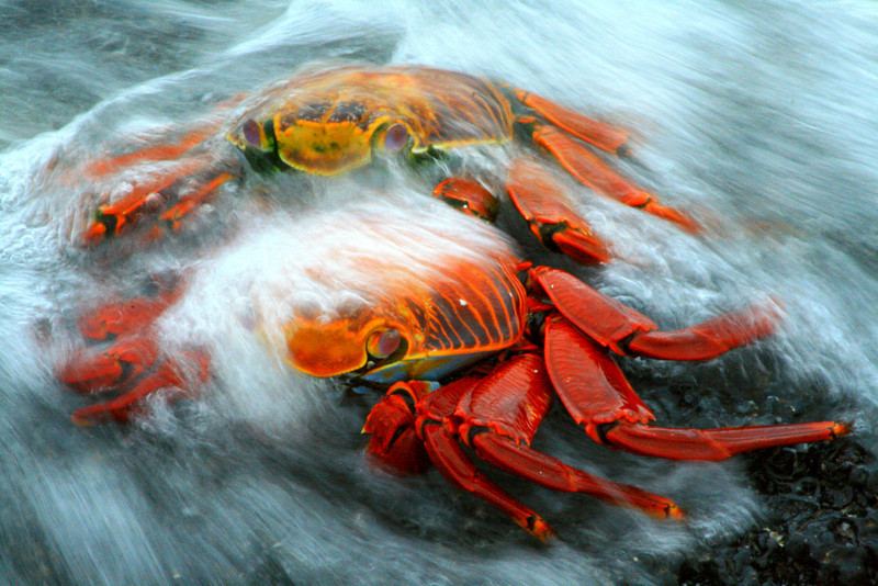 Sallie Light-foot Crab - Santa Cruz, Galapagos<br /> 2011 National Wildlife Federation Photography Contest Winner