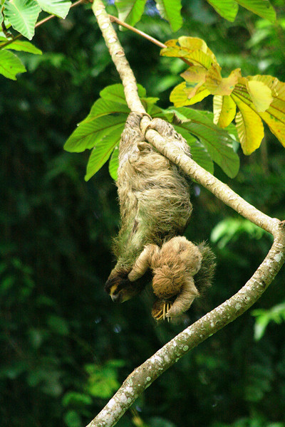 Three-toed sloth and her baby clutching on - Manzanillo, Costa Rica