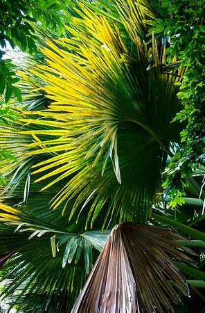 Palm Fronds- Costa Rica