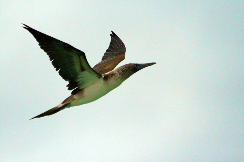 Flying Blue-footed Booby - North Seymour, Galapagos