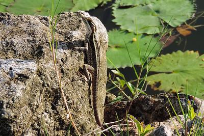 Orange Walk - Juvenile Brown Basilisk