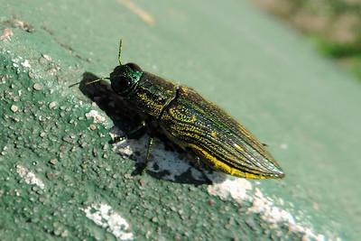 Orange Walk - Metallic Wood Boring Beetle