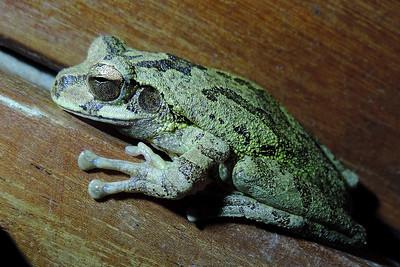 Orange Walk - Unidentified Tree Frog Side