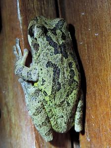 Orange Walk - Unidentified Tree Frog Back