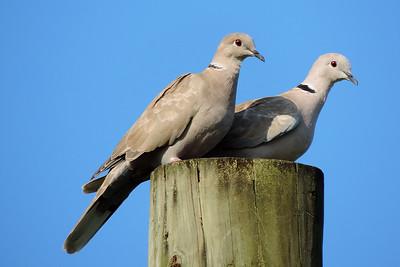 Orange Walk - Collared Doves