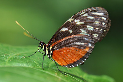 San Antonio - Golden Longwing ♀