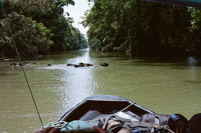 SE Asia water buffalo were apparently imported by the government