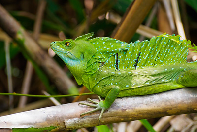 A basilisk or Jesus Christ Lizard