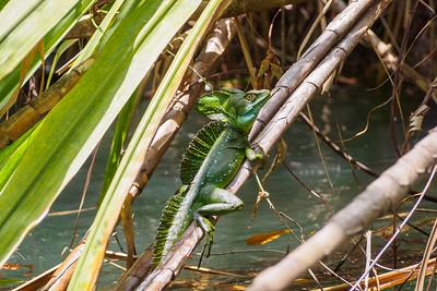 A basilisk or Jesus Christ Lizard
