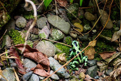 Poison arrow frog in our garden