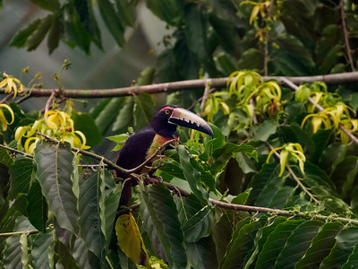 One of two Aracari Toucans that lived outside our house